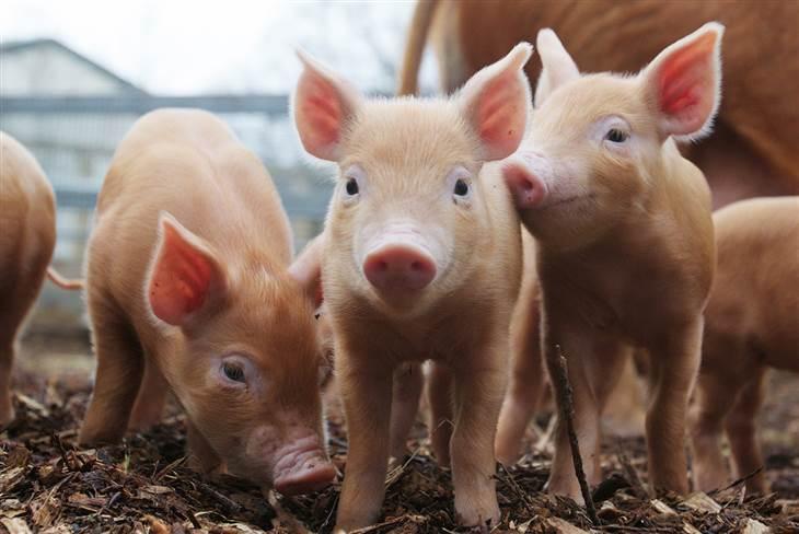 Resultado de imagen para cerdos